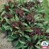 Basil Siam Queen - 1997 AAS Edible - Vegetable Winner - Siam Queen is an improved Thai basil or tropical basil.