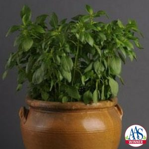 Basil Sweet Dani - 1998 AAS Edible - Vegetable Winner - Greatly improved aromatic herb desirable for culinary and ornamental use.