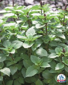 Persian Basil is a large, vigorous plant that is a prolific producer of pleasant tasting leaves for your culinary adventures.