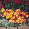 Begonia Pin Up Flame F1 - 1999 AAS Flower Winner - An unusual color combination of yellow with an orange/red petal edge.