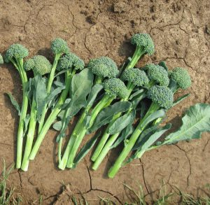 Artwork is a unique and beautiful dark green stem broccoli that has only recently become available to home gardeners.