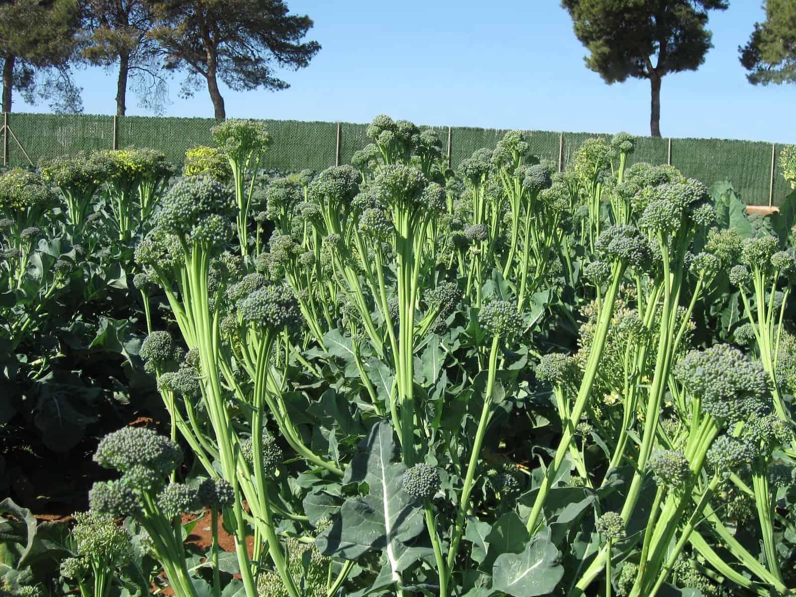 broccoli artwork f1 all america selections