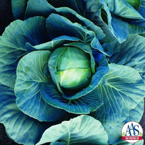 Cabbage Dynamo F1 - 1997 AAS Edible - Vegetable Winner - Small blue-green cabbage the perfect size for one meal at 2 to 2-1/2 pounds.