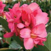Canna Tropical Rose