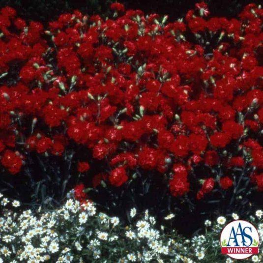 Carnation Scarlet Luminette