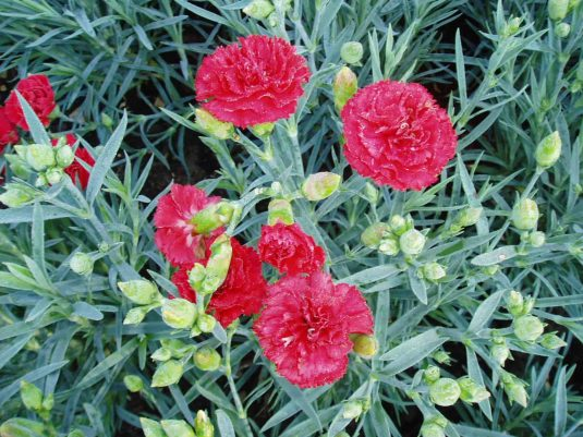 Carnation Can Can Scarlet F1 - 2003 AAS Flower Winner This is one of the most fragrant garden carnations.