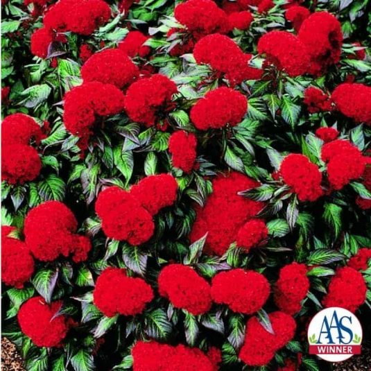 Celosia Prestige Scarlet - 1997 AAS Flower Winner - Deep scarlet combs cover entire plant over a prolonged period.