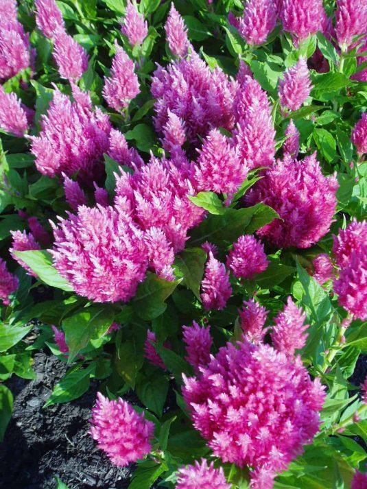 Celosia Castle Pink