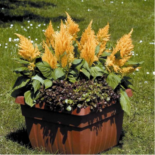 Celosia Fresh Look Gold 2007 AAS Flower Award Winner Correctly named, these plants look as fresh in September as they did when planted in the spring.