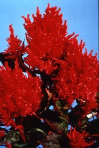 Celosia Fresh Look Red (Gold Medal) - 2004 AAS Flower Winner Fresh Look Red performs like a fresh floral arrangement all summer.