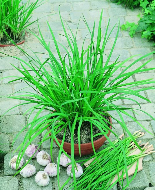 Chives Garlic Geisha - Slightly wider, flatter and more refined leaves topped by pretty white flower stalks late in the season mean this is another edible that can serve a dual purpose as an ornamental.