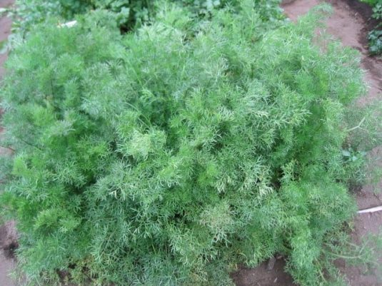 Cilantro Delfino - 2006 AAS Vegetable Award Winner 'Delfino' is an aromatic, edible herb, and unlike other coriander has unique, fine fern-like foliage.