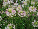 Cleome Sparkler Blush F1 - 2002 AAS Flower Winner 'Sparkler Blush' flowers freely all season.