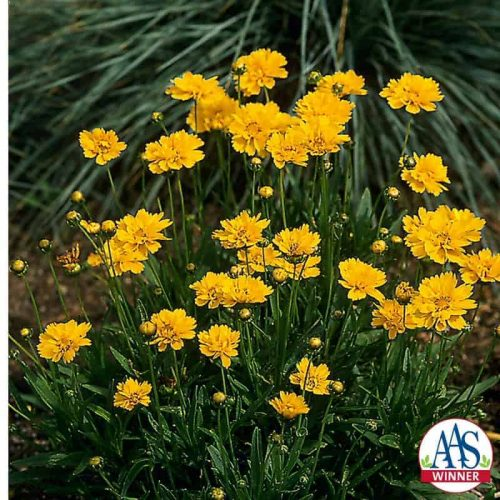 Coreopsis Early Sunrise (Gold Medal) - 1989 AAS Flower Winner