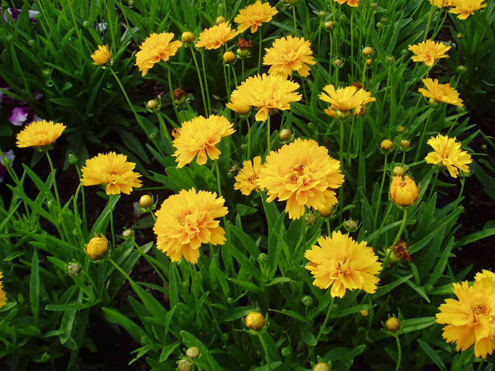 Coreopsis Early Sunrise All America Selections