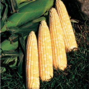 Corn, Sweet Honey 'N Pearl