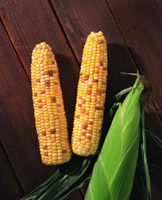 Sweet Corn Indian Summer F1 - 2000 AAS Edible - Vegetable Winner - The first sweet corn with festive colored kernels.