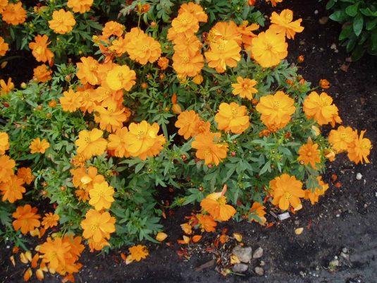 Cosmos Cosmic Orange- 2000 AAS Flower Winner - Cosmic Orange is an improved Cosmos sulphureus deserving a sunny site in your garden.