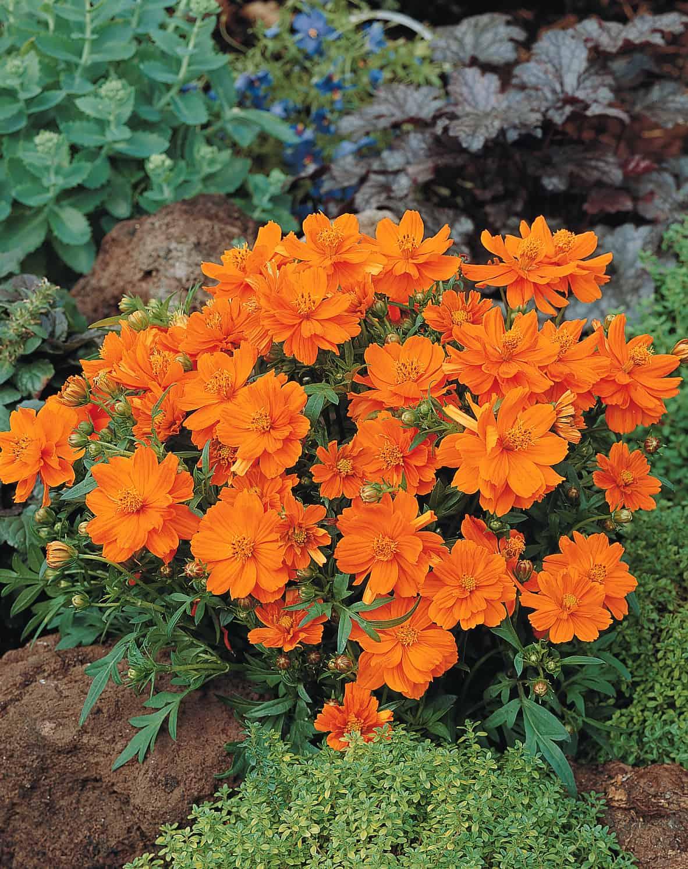 Cosmos cosmic orange all america selections cosmos cosmic orange 2000 aas flower winner cosmic orange is an improved cosmos sulphureus mightylinksfo