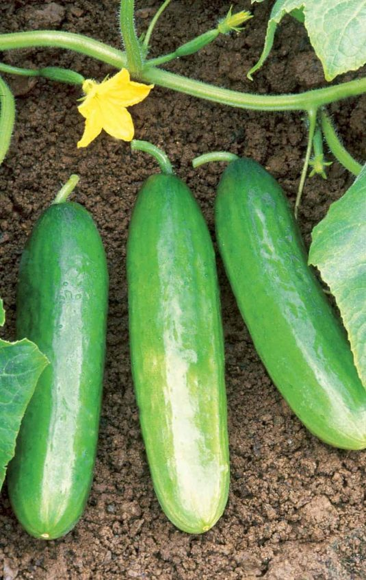Cucumber Diva - 2002 AAS Edible - Vegetable Winner - Sweet flavor and high yield describe the improved qualities of Diva