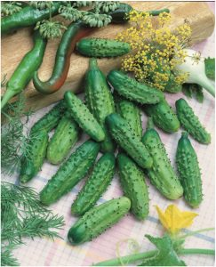 Cucumber Parisian Gherkin F1 is an excellent mini or gherkin pickling cucumber which can be picked either at the midget size or small pickle stage and processed.