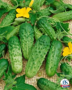 Cucumber Pick a Bushel F1 2014 AAS Vegetable Award Winner This Regional AAS Winner is great for northern areas because it is early to set fruit, offers a prolific quantity of fruit and is a compact bush-type cucumber spreading only about 24 inches.