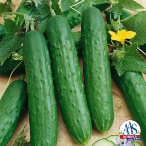 Cucumber Saladmore Bush F1 2014 AAS Vegetable Award Winner Matures in 55 days from sowing. This semi bush vine sets sweet crisp cucumbers as long as you keep them picked.