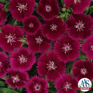 Dianthus Ideal Violet F1