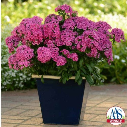 Dianthus Jolt™ Pink F1 - Jolt is the most heat tolerant dianthus on the market, sporting very showy, bright pink fringed flowers.