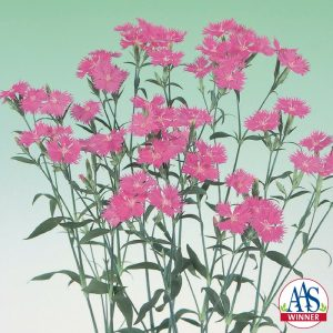 Dianthus Melody Pink F1 - 2000 AAS Flower Winner - Sprays of single pink blooms distinguish Melody Pink from other annual dianthus.