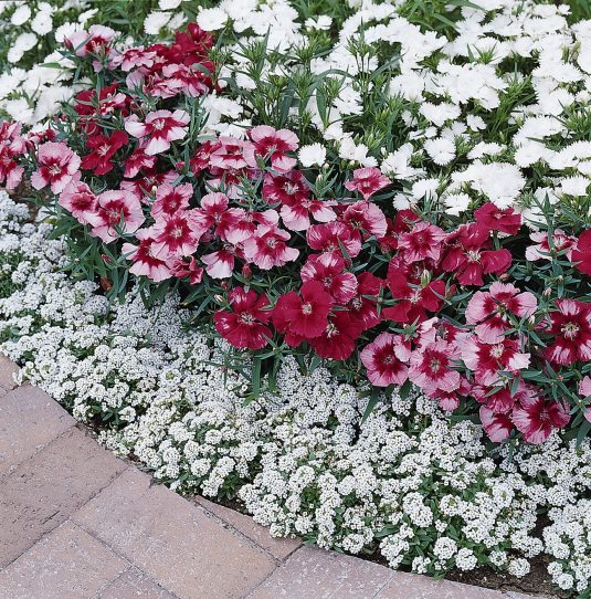 Dianthus Corona Cherry Magic F1 - 2003 AAS Bedding Plant Winner This is the first dianthus with a capricious bi-color pattern.