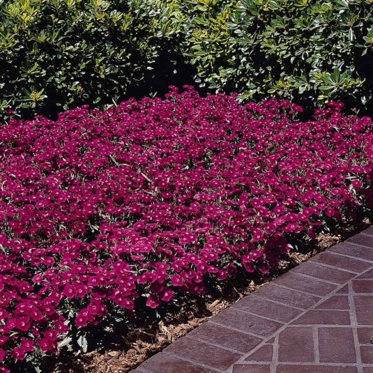 Dianthus Ideal Violet F1