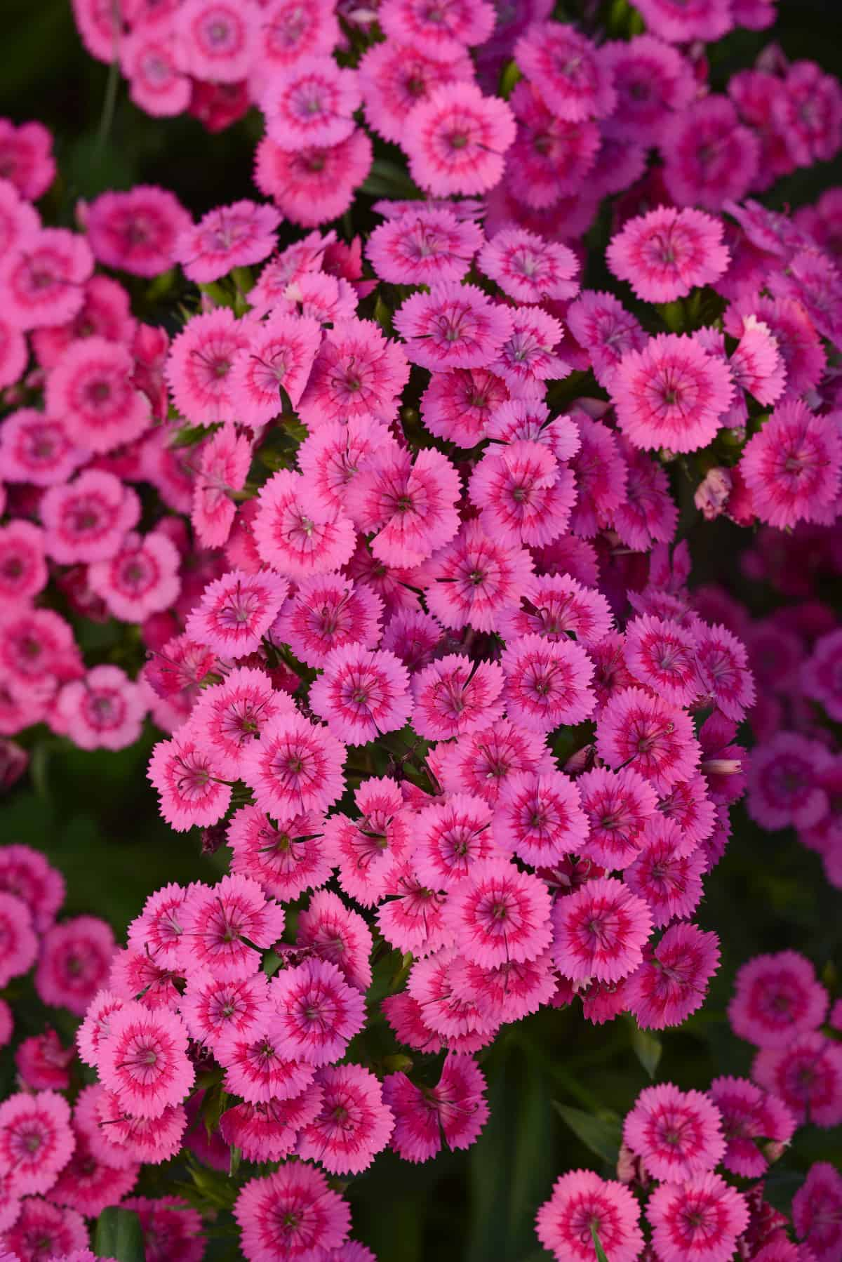 Dianthus Interspecific Jolt Pink F1 All America Selections
