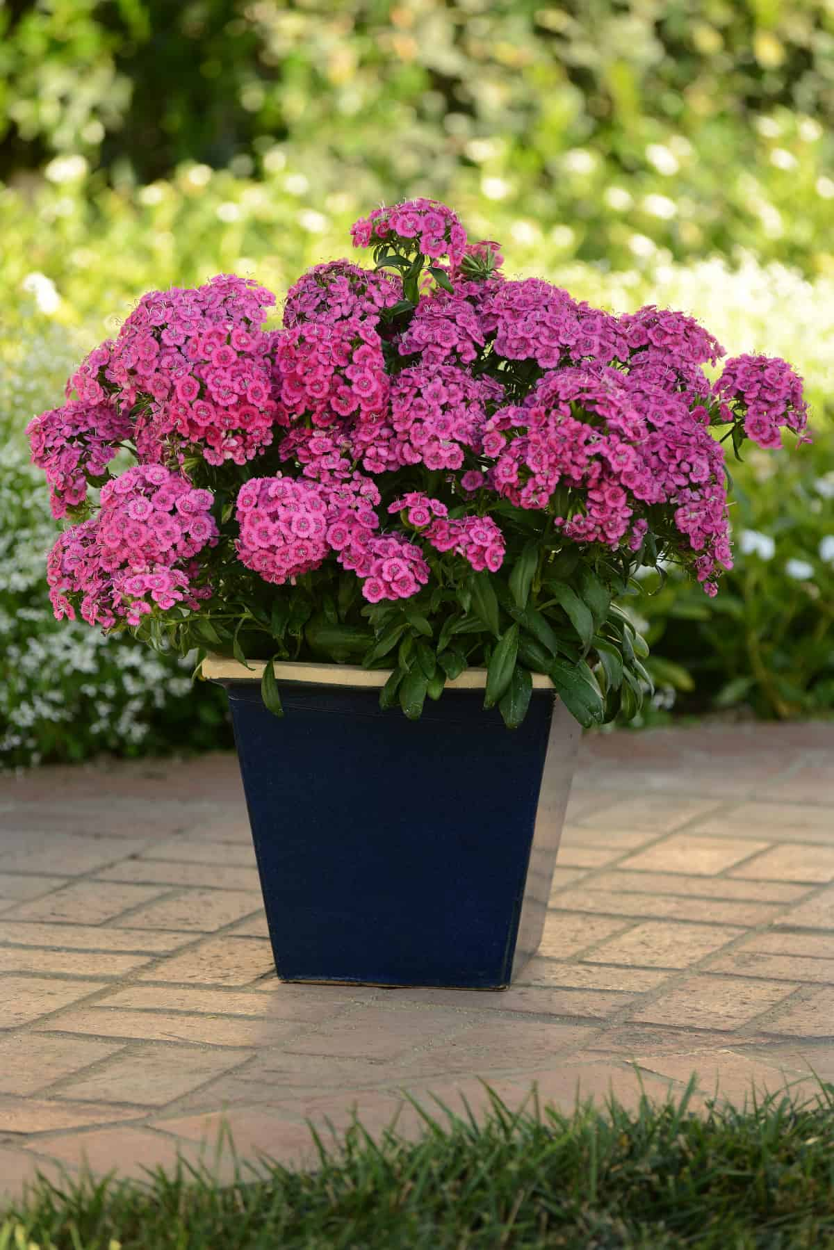 Dianthus interspecific jolt pink f1 all america selections dianthus jolt pink f1 jolt is the most heat tolerant dianthus on the market izmirmasajfo Choice Image