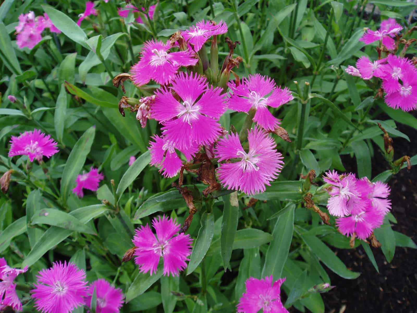 Dianthus Melody Pink F1 All America Selections