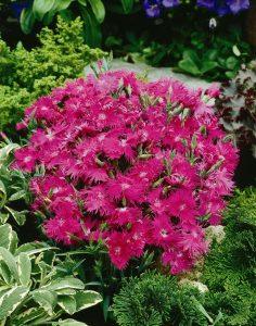 Dianthus Supra Purple F1 - 2006 AAS Bedding Plant Winner. Supra Purple fills garden space with color.