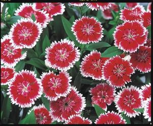 Dianthus Telstar Picotee F1 - 1989 AAS Flower Winner