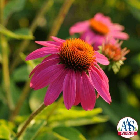 Echinacea PowWow Wild Berry - 2010 AAS Flower Award Winner This AAS Winner differs from other coneflowers for flower color, branching and plant size.