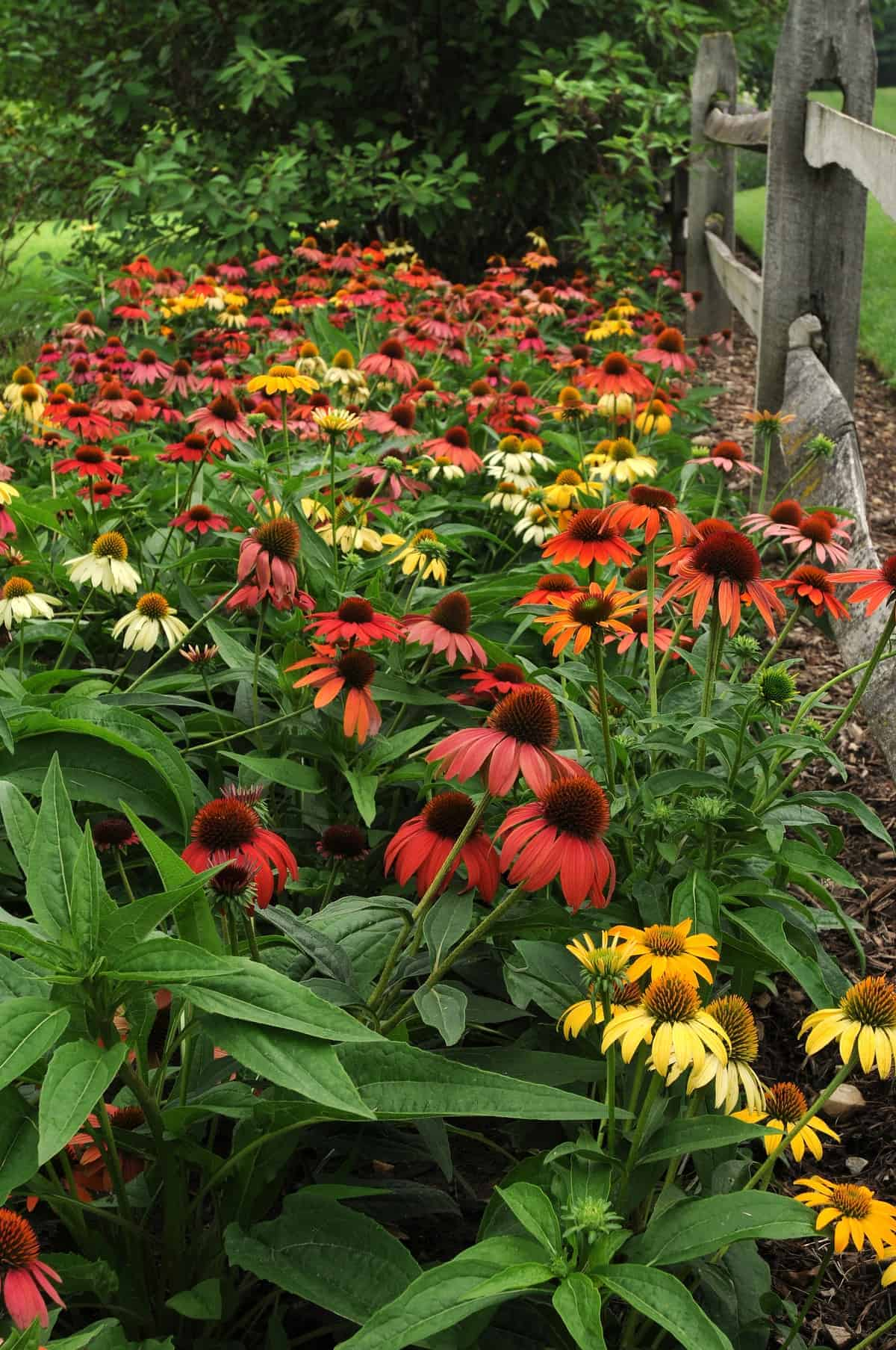 Echinacea Cheyenne Spirit 2017 Aas Flower Award Winner This Stunning First Year Flowering