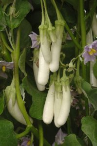 Eggplant Gretel F1 - 2009 AAS Vegetable Award Winner Petite fruit, petite plant, perfect for containers.