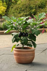 Eggplant Patio Baby F1 2014 AAS Vegetable Award Winner Patio Baby is a very early and highly productive eggplant with a compact habit, making it a great choice for containers or in the garden.
