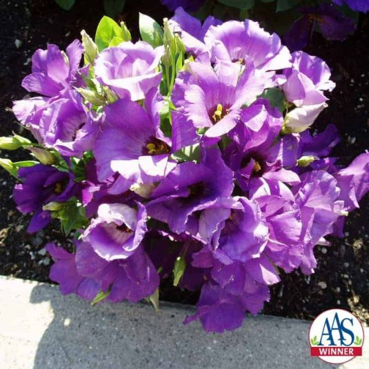 Eustoma Forever Blue F1 - 2001 AAS Bedding Plant Winner - Forever Blue will provide gardeners their favorite blue color throughout the gardening season.