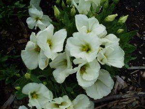 Eustoma Forever White F1 - 2003 AAS Bedding Plant Winner - Simply the best white flowering eustoma for your garden.