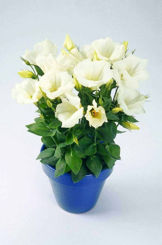 Eustoma Forever White F1 - 2003 AAS Bedding Plant Winner - Simply the best white flowering eustoma for your garden.