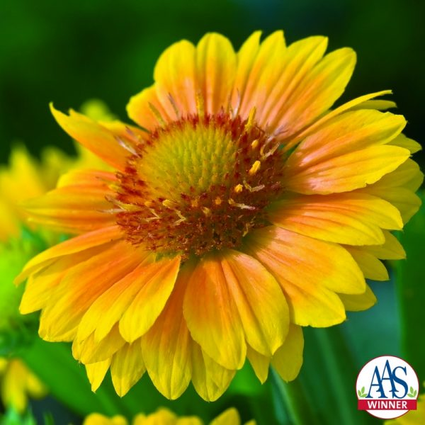 Gaillardia Arizona Apricot - 2011 AAS Flower Winner Blooms are lighter in color than traditional gaillardia with yellow edges that deepen to a rich apricot center.