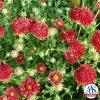 Gaillardia Red Plume