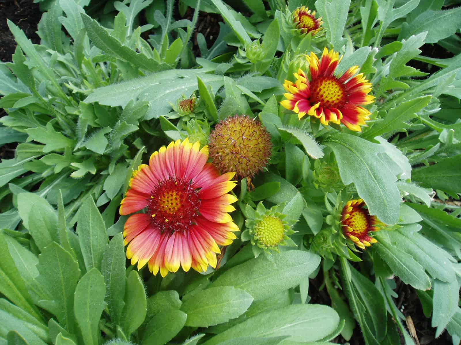 Gaillardia Arizona Sun All America Selections