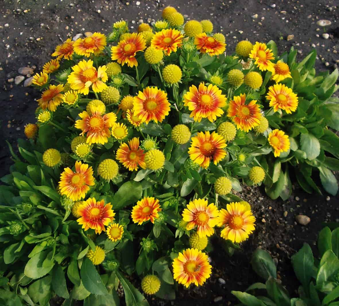 Gaillardia Arizona Apricot All America Selections