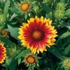 Gaillardia Arizona Sun - 2005 AAS Flower Winner This Arizona Sun is red and yellow.