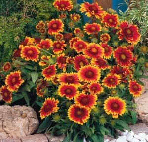 Gaillardia Arizona Sun - 2005 AAS Flower Winner This Arizona Sun is red and yellow.